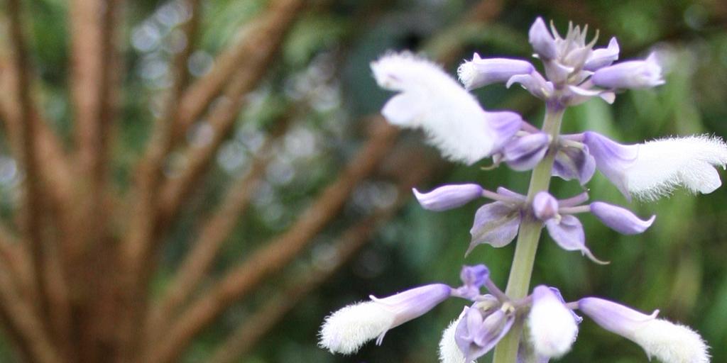 Salvia divinorum flower