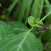 Salvia divinorum: bottom part of the plant
